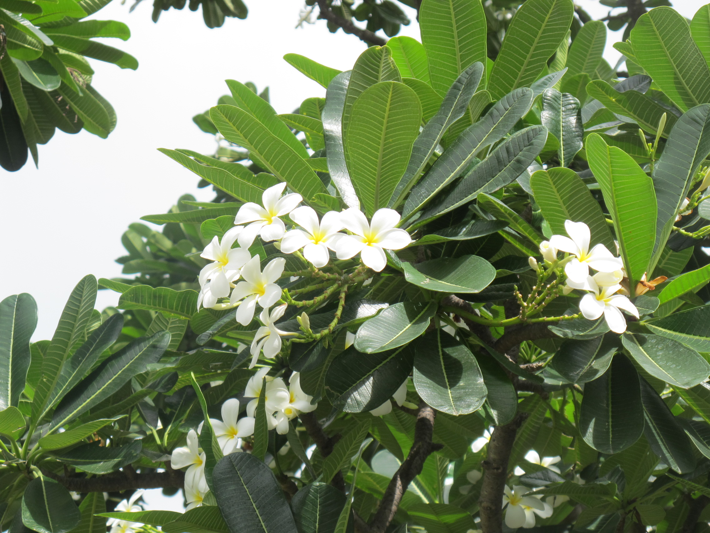Beautiful hawaiian tree with white flowers contemporary wedding great hawaiian tree with white flowers gallery wedding and flowers izmirmasajfo Images