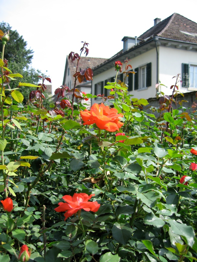 Rapperswil roses